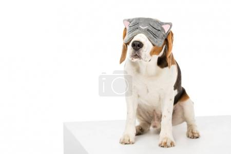 cute beagle dog wearing sleeping mask isolated on white