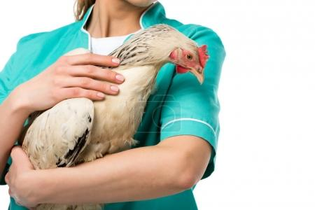 partial view of veterinarian holding chicken isolated on white