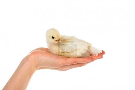 cropped shot of woman holding cute chick in hand isolated on white