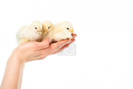 partial view of woman holding cute little chicks in hands isolated on white
