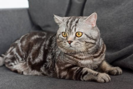 adorable scottish straight cat sitting on cozy grey sofa