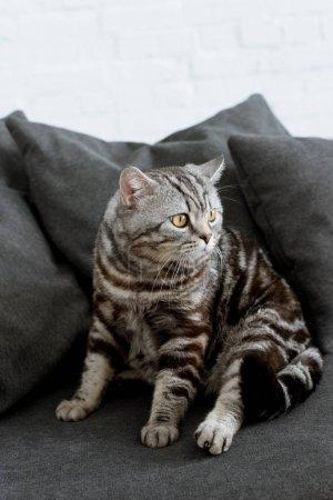 Photo pour Adorable écossais chat droit assis sur le canapé gris confortable - image libre de droit