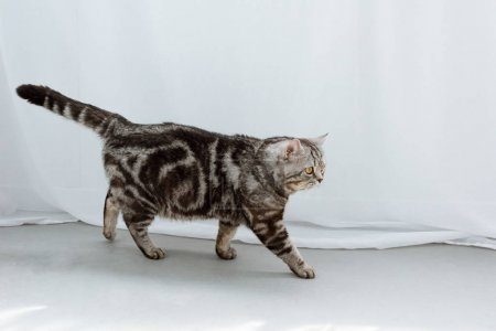 adorable scottish straight cat walking on floor in front of white curtains