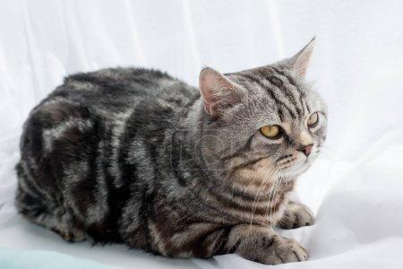 Photo pour Gros plan de l'adorable écossais chat droit couché sur le rebord de la fenêtre - image libre de droit