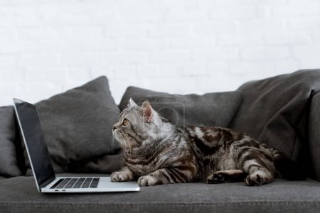 side view of scottish straight cat with laptop on couch