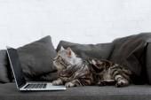 "Постер, картина, фотообои ""вид сбоку шотландских прямо кошки с ноутбуком на диване"""