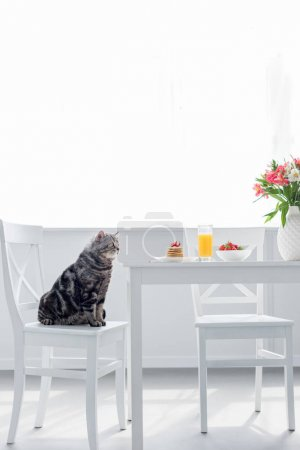 cute scottish straight cat sitting on chair near table with breakfast
