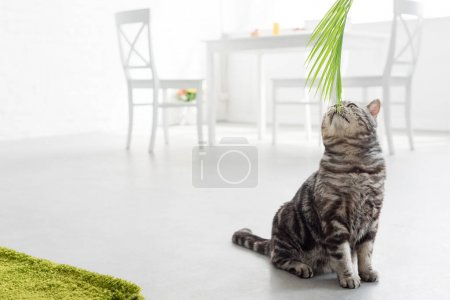 adorable scottish straight cat sniffing palm leaves at home