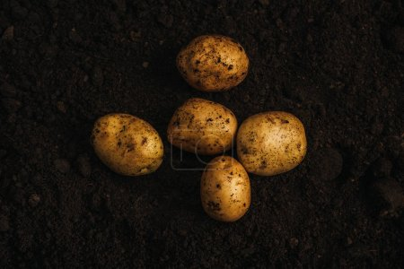 top view of ripe natural potatoes in ground