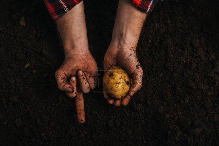 Photo pour Vue partielle d'un agriculteur sale tenant des pommes de terre mûres dans le sol et montrant le majeur - image libre de droit