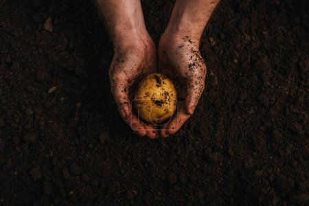 Photo for Partial view of dirty farmer holding ripe potato in ground - Royalty Free Image