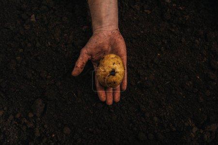 Photo pour Vue partielle d'un agriculteur sale tenant des pommes de terre naturelles mûres dans le sol - image libre de droit