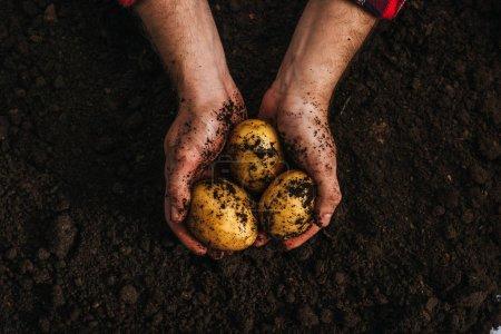 Foto de Vista recortada de los agricultores que tienen patatas naturales maduras en el suelo - Imagen libre de derechos