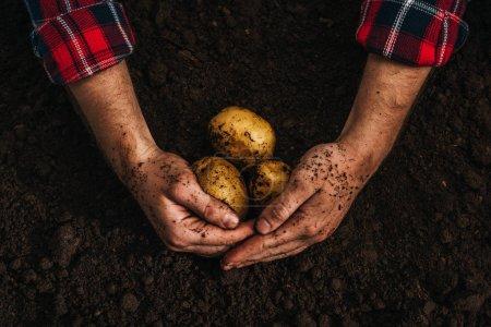 Photo pour Vue en coupe d'un agriculteur tenant des pommes de terre naturelles mûres dans le sol - image libre de droit