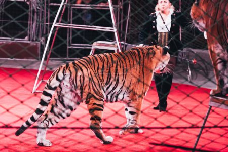 Photo for KYIV, UKRAINE - NOVEMBER 1, 2019: Selective focus of handler performing with tigers behind grid of circus arena - Royalty Free Image