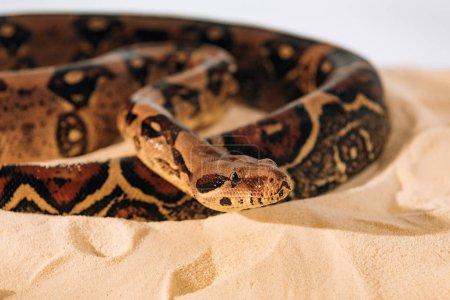 Photo pour Concentration sélective du python à la lumière du soleil sur le sable sur fond gris - image libre de droit