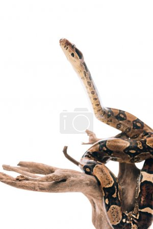Photo pour Concentration sélective du serpent python sur le chevalet en bois isolé sur blanc - image libre de droit