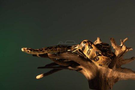 Photo pour Lumière du soleil sur python et rondins de bois isolés sur gris - image libre de droit