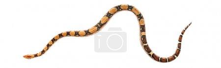 Photo pour Vue de dessus du python isolé sur blanc, vue panoramique - image libre de droit