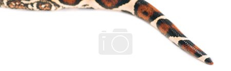 Panoramic shot of python tail isolated on white