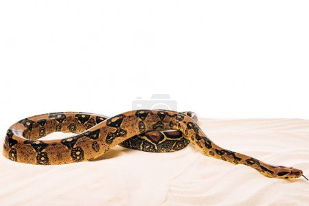 Photo pour Python sur sable sur fond blanc avec espace de copie - image libre de droit
