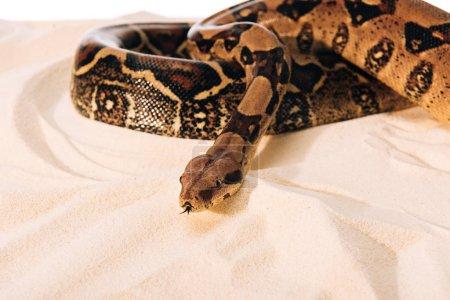Photo pour Concentration sélective du python sur le sable sur fond blanc - image libre de droit