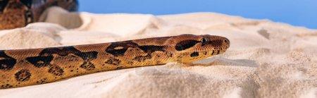 Photo pour Plan panoramique de python sur sable texturé sur fond bleu - image libre de droit