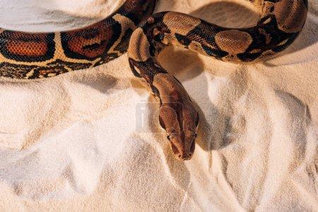 Photo pour Vue du dessus du python tordu sur sable - image libre de droit