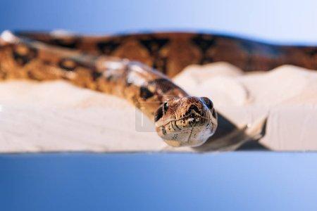 Photo pour Concentration sélective du serpent sur le sable sur fond bleu - image libre de droit