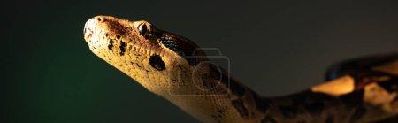 Photo pour Prise de vue panoramique du python au soleil isolé sur gris - image libre de droit