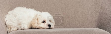 Photo for Panoramic shot of cute Havanese puppy lying on armchair - Royalty Free Image