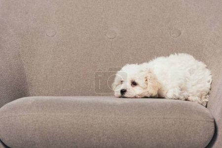 Photo pour Chiot Havanais mignon et blanc couché sur un fauteuil - image libre de droit