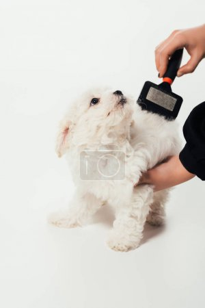cropped view of woman brushing hair of Havanese puppy on white background