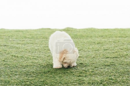 Photo for Cute Havanese puppy smelling grass isolated on white - Royalty Free Image