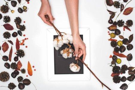 Photo pour Vue de dessus des mains humaines tenant des fleurs de coton au-dessus du cadre blanc - image libre de droit