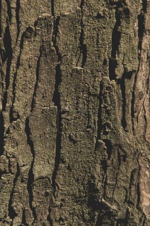 Photo pour Vue rapprochée de l'écorce d'arbre fond texturé - image libre de droit