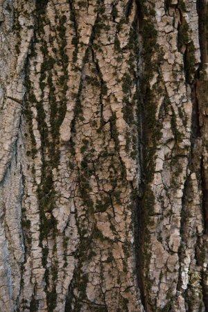 Photo pour Vue rapprochée de la texture naturelle de l'écorce d'arbre - image libre de droit