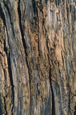 Photo pour Vue rapprochée de la texture sèche de l'écorce d'arbre - image libre de droit