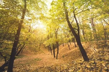 Photo for Beautiful autumn forest on sunny day covered with golden leaves - Royalty Free Image