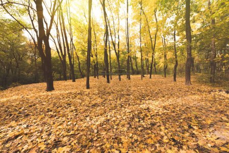 Photo for Autumn forest on sunny day covered with golden leaves - Royalty Free Image