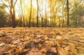 fallen leaves in autumn forest