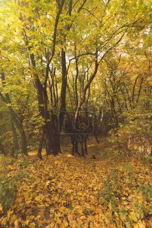Photo for Beautiful autumn forest with ground covered with yellow leaves - Royalty Free Image