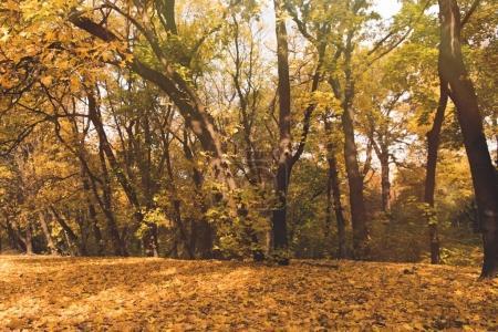 autumn forest full of golden trees