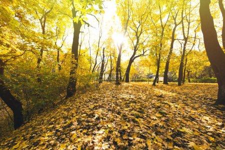 Photo pour Forêt d'automne ensoleillée couverte de feuilles jaunes tombées - image libre de droit