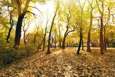 Photo for Autumn forest with ground covered in yellow fallen leaves - Royalty Free Image