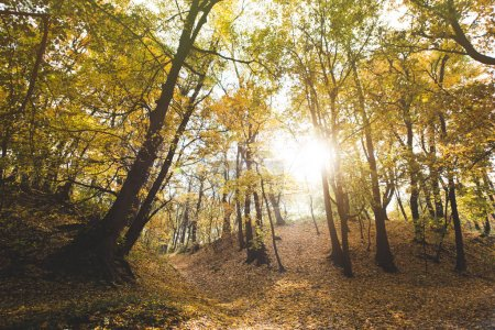 Photo for Beautiful autumn forest with sun shining through trees - Royalty Free Image