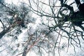 """Постер, картина, фотообои """"снизу вид красивых деревьев зимний лес против белых пасмурное небо"""""""