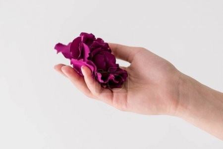 cropped shot of hand holding beautiful purple flower isolated on grey