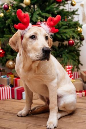 labrador with christmas reindeer antlers