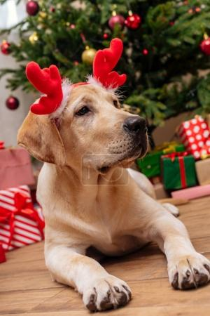 Photo for Cute labrador retriever dog with christmas reindeer antlers, christmas tree and gifts on background - Royalty Free Image